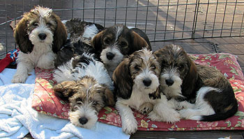 Vichon PBGV Puppies