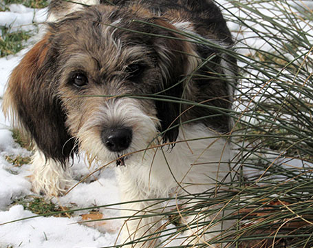 PBGV Puppy in Snow