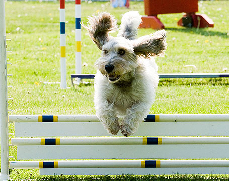 PBGV Agility Jump with Ears Flying