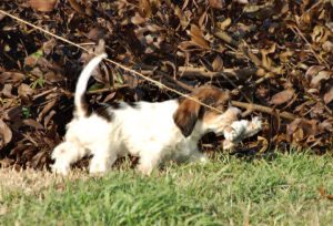 Conditioning puppy for hunts