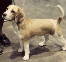 """Sandi,"" a 15-inch tan-and-white female Beagle"